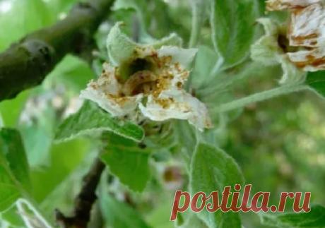 Проснулся яблонный цветоед: как защитить свои яблони и груши весной и летом
