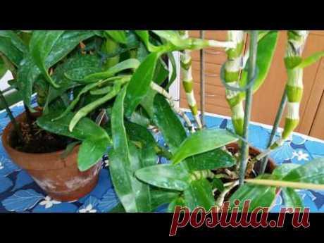 Орхидея Дендробиум Нобиле.Зимний отдых,как стимулировать цветение,сколько раз и когда цветёт