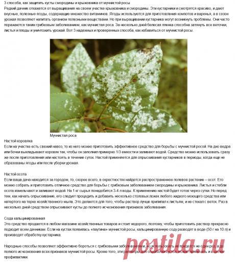 3 способа, как защитить кусты смородины и крыжовника от мучнистой росы