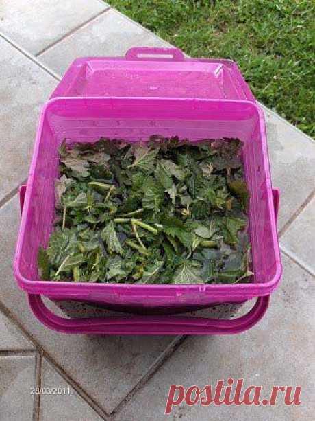 Крапива - удобрение и органический инсектицид против тли. .