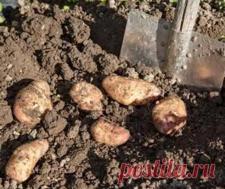 Нетрадиционные способы выращивания картофеля