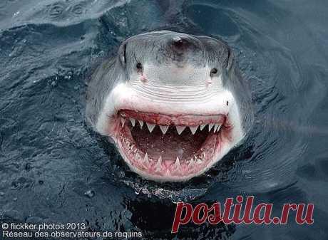 Белая акула.  Говоря о ее обонянии, можно сказать, что эта рыба настоящий «плавающий нос»! К тому же ничто не ускользает и от ее слуха — так что название «плавающие уши» также к ней применимо. Еще у акул есть шестое чувство. Благодаря ампулам Лорензини — крошечным канальцам, расположенным вокруг ее носа,— они могут улавливать слабые электрические поля, создаваемые сердцебиением, движением жабр или мышц предполагаемой добычи.