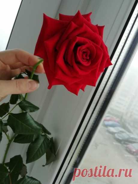 Как вырастить розу из букета? Простой и рабочий способ | Сделуха | Яндекс Дзен