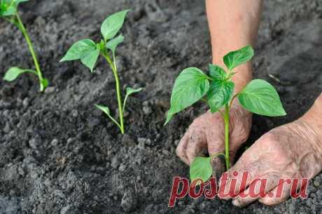 Высадка рассады болгарского перца в открытый грунт: маленькие советы для получения большого урожая | Дачная страна | Яндекс Дзен