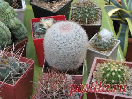 Как поливать комнатные кактусы В семействе кактусовых существуют большие различия между потребностями растений в воде. Нужные изменения полива зависят от ареала, из которого происходят определенные виды...