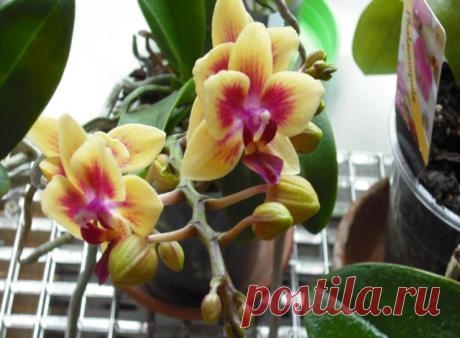 ВСЕ, ЧТО НУЖНО ЗНАТЬ О ЦВЕТЕНИИ ОРХИДЕЙ  Чтобы орхидея цвела… Частота цветения орхидеи зависит от соблюдения определенных правил ухода. Чтобы растение цвело, следует помнить 9 важных условий, способствующих этому.  1. Узнайте возраст орхидеи  Если вы купили нецветущее растение, и оно не торопится радовать цветочной стрелкой, быть может, оно еще слишком молодое. Разные виды орхидей зацветают в возрасте от 1,5 до 3 лет. Чтобы определить, что орхидея достаточно взрослая, нужн...
