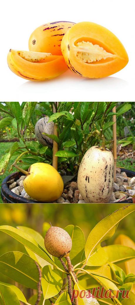 Пепино, или Дынная груша | Секреты выращивания комнатных растений