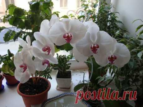 Как добиться пышного цветения орхидеи? | Pro100ogorod | Яндекс Дзен