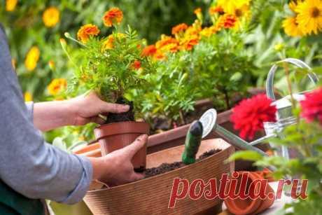 Пересадка рассады однолетних цветов