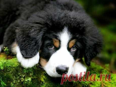 бернская овчарка считается одной из самых красивых собачьих пород в мире