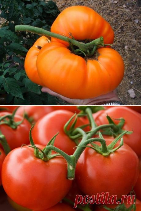 Топ-9 секретов хорошего урожая помидоров