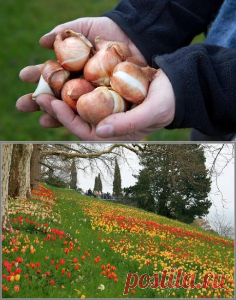 Луковицы тюльпанов и гладиолусов. Правила и условия хранения луковичных цветов