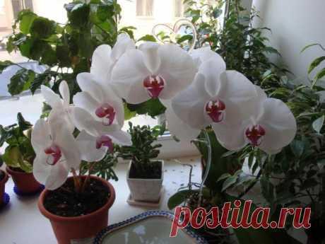 Орхидеи фаленопсис: правильный уход и выращивание Орхидеи фаленопсис: правильный уход и выращиваниеОрхидеи – это изумительной красоты растения, произрастающие в субтропиках и тропических джунглях.Когда в доме появляются эти красавицы, для них надо с...