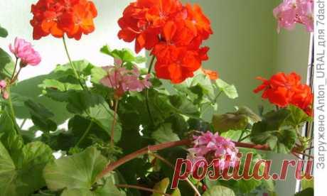 Пеларгонии (герани): выращивание, размножение и уход в домашних условиях. Фото