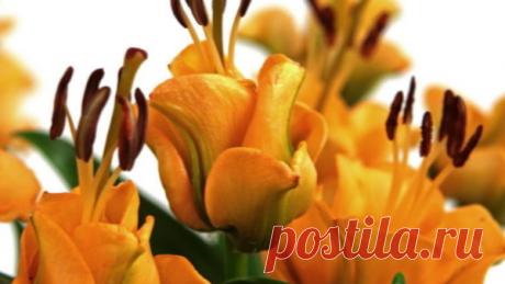 Новинка: лилия-роза Априкот Фьюдж | Марина Жолобова | Яндекс Дзен