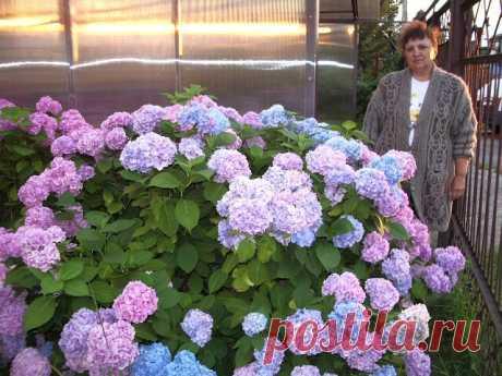Многие слышали, что окраску цветков гортензии можно изменить. Из розовой сделать голубую или синюю, из красной – фиолетовую. Но надо сразу сказать, что не все сорта гортензий могут менять цвет соцветий. Например, никогда белые древовидные гортензии не станут голубыми. Меняет цвет гортензия садовая, или крупнолистная (Hydrangea macrophylla). Для производства голубого пигмента этим растениям необходимы 2 важных условия: кислая почва (pH грунта, в пределах 5,0 – 5,5) и внесе...