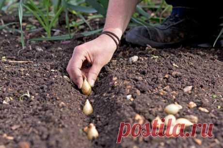Когда сажать лук-севок? Подскажут четыре самые верные приметы | Наша Дача | Яндекс Дзен