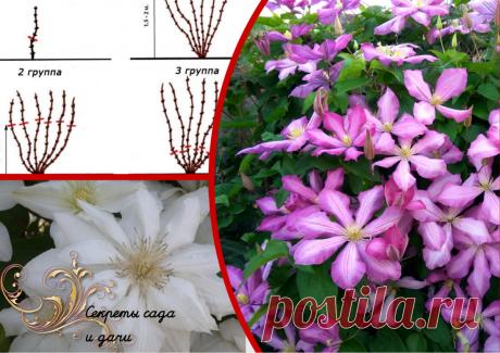 Сентябрь - пора взяться за клематисы. Час работы в саду стимулирует чудесное цветение на следующее лето (4 шага)