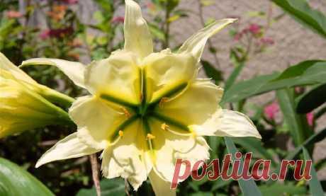 Экзотическое растение «исмене» можно выращивать в домашних условиях и в открытом грунте. Какие условия ему необходимо создать? Как сажать, поливать, удобрять?