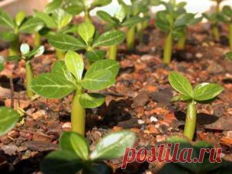 Размножение адениумов. - Адениумы - выращивание и уход.
