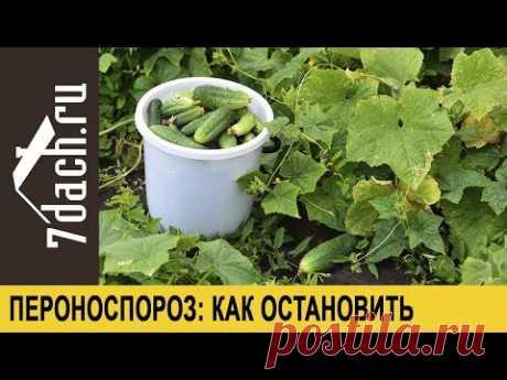Peronosporoz de los pepinos: como parar y prolongarle la fructificación - 7 casas de campo