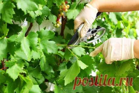 Опытные садоводы проводят летом обрезку от лишних побегов. Такой уход за виноградом даст большой урожай крупными ягодами, но есть и другие причины...
