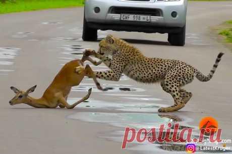 И хищник, и его жертва измотаны погоней: гепард медлит с укусом, а антилопа делает безуспешные попытки убежать. Посмотрите на финальную сцену охоты, которая разыгралась прямо на глазах у туристов.