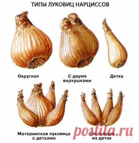 Нарциссы: раскрываем секреты обильного цветения | Тюльпаны, Нарциссы (Огород.ru)