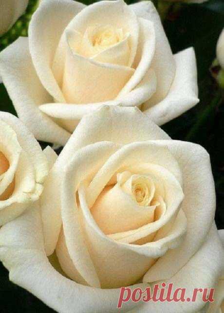 Почему так сладко пахнут розы...