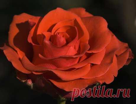tasha7 — «О, Роза! Ты прекрасней всех цветов! Любви источник, полный вдохновенья!» на Яндекс.Фотках