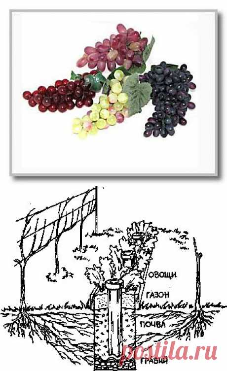 Technology of cultivation of grapes