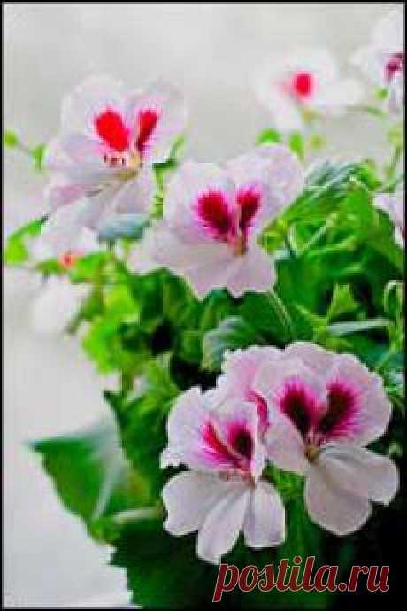 """Одно из наиболе известных комнатных растений, несправедливо обиженное презрительным ярлыком """"мещанский"""", имеющее несколько названий: калачик, герань. Это все пеларгония. Неприхотливая в уходе и содержании, поразительная в своем разнообразии современных сортов и разновидностей: зональная, плющевидная, королевская, иви гибриды, махровая. Прекрасный цветок для наших балконов, подоконников, садов, цветников."""