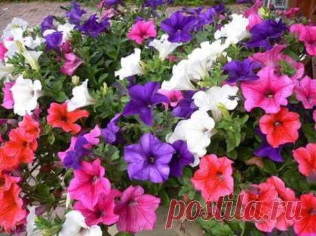 Как вырастить обильно цветущую петунию