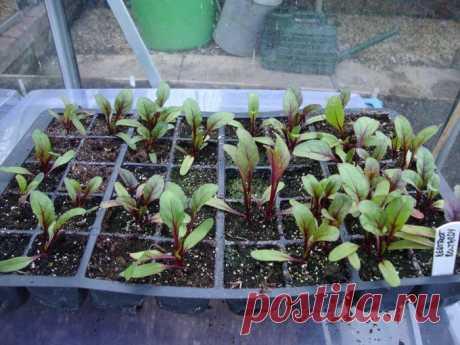 4 ошибки выращивания рассады свеклы, из-за которых она растет хилой