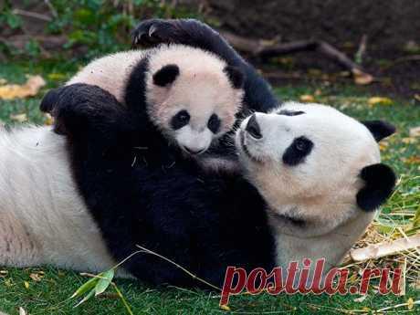 Большая панда - фото, описание, ареал, рацион, враги, популяция