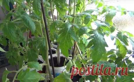 Когда сажать помидоры на рассаду в 2019 по Лунному календарю 🚩 Сад и огород