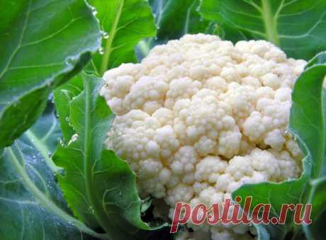 Cauliflower: cultivation, leaving, grades
