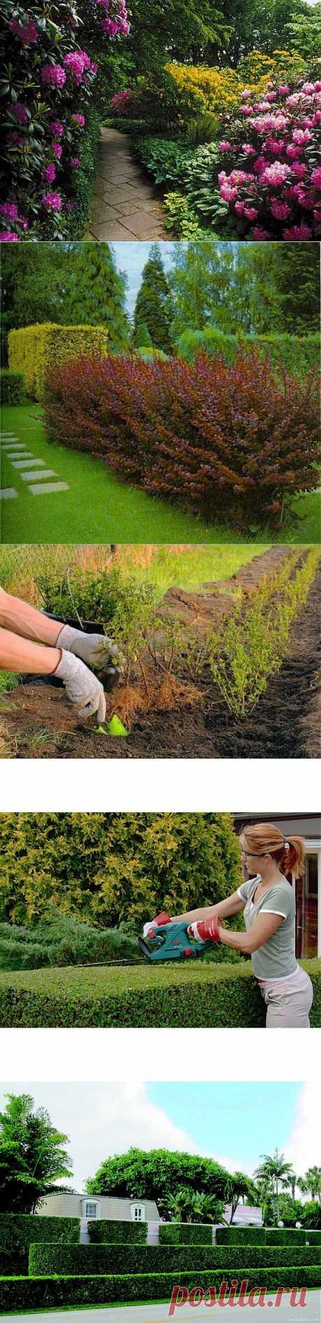 Живая изгородь: посадка и формирование   Наш дом
