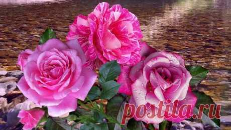 розы у ручья