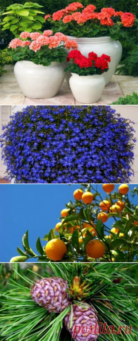 Как вырастить герань :: вырастить красивые палергонии :: Цветоводство :: KakProsto.ru: как просто сделать всё