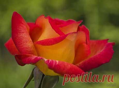 Роза друзьям.
