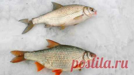 Рыбы, которых рыболовы постоянно путают. Сможете ли вы их отличить? | Рыболовные фишки | Яндекс Дзен