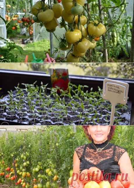 Помидоры - сорта, выращивание и уход в открытом грунте, теплице