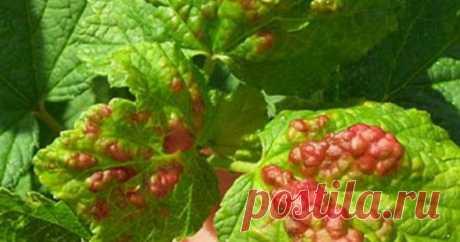 Смородина засыхает вместе с плодами - причины и способы лечения | Любимая Дача | Яндекс Дзен