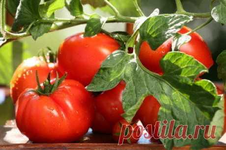 «Пьяные» помидоры – созревают быстрее. Уникальный метод для ускорения созревания помидор | У-Дачный канал советы от Арины | Яндекс Дзен