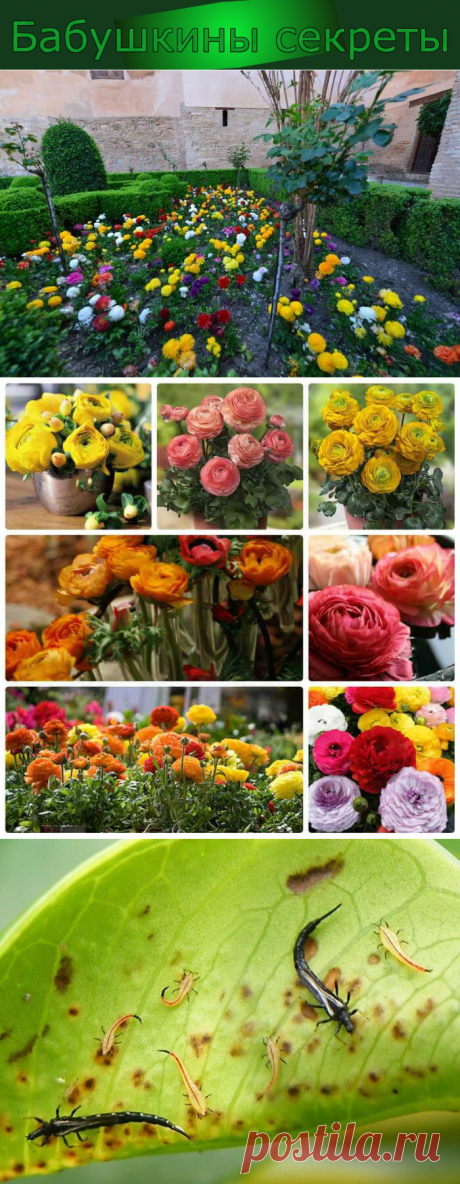 Ранункулюс посадка и уход за цветком — Бабушкины секреты