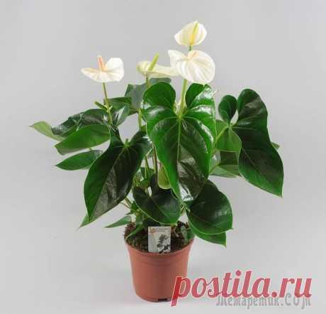 Если растение попало к вам в очень плохом состоянии, не спешите от него избавляться. Возможно, антуриум еще можно спасти. Как оживить погибающий антуриум?