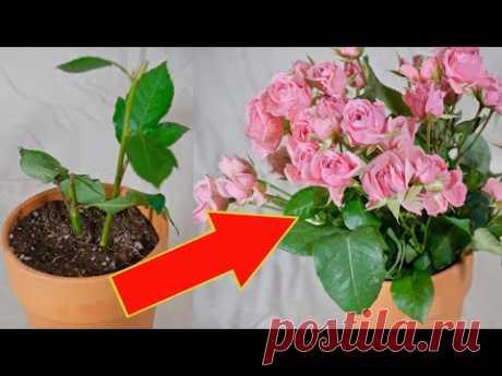 Как укоренить и размножить розу из черенка.