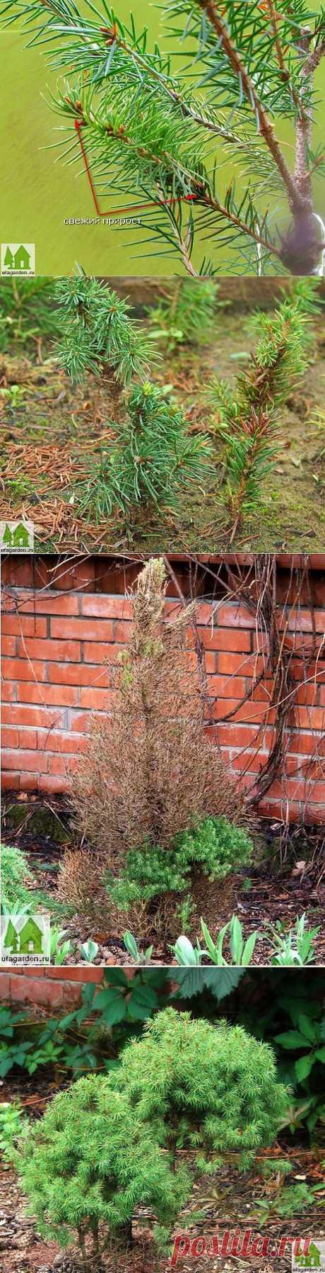 Размножение ели | Дачная жизнь - сад, огород, дача