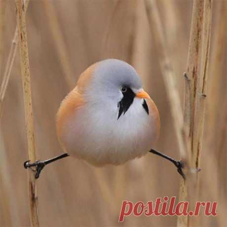 Усатая синица: смешная круглая птица, которая умеет делать идеальный шпагат Если вы скучаете на карантине, то можете посвятить себя новому занятию ─ наблюдению за птицами. Вы сразу же поймёте, что вокруг вашего дома летают не только воробьи и голубы.А если у вас особенно остр...